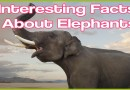 DID YOU KNOW?  Elephant Facts; Interesting both physically and socially